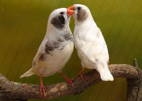 الفنكر زيبرا، طائر الفنكر الجميل من استراليا ، تقرير وصور klbhwqmatcpc.jpg?w=5