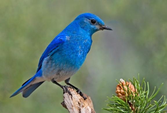 Mountain_Bluebird جبلي