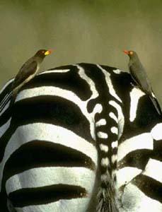 طائر الاوكسبيكر oxpecker_yellow-bill