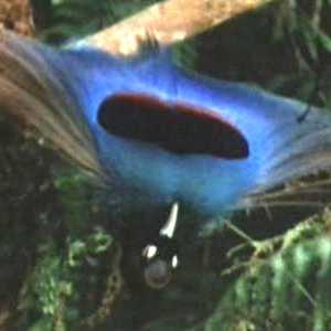 طيور الجنـــــــــة paradisaea_rudolphi.