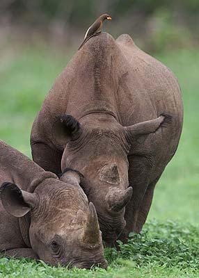 طائر الاوكسبيكر rhino_and_yellowbill