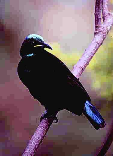 طيور الجنـــــــــة riflebrd.jpg?w=640