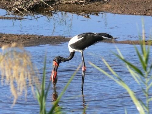 طيور حيوانات طائر السرج طائر السرج طيور طائر السرج