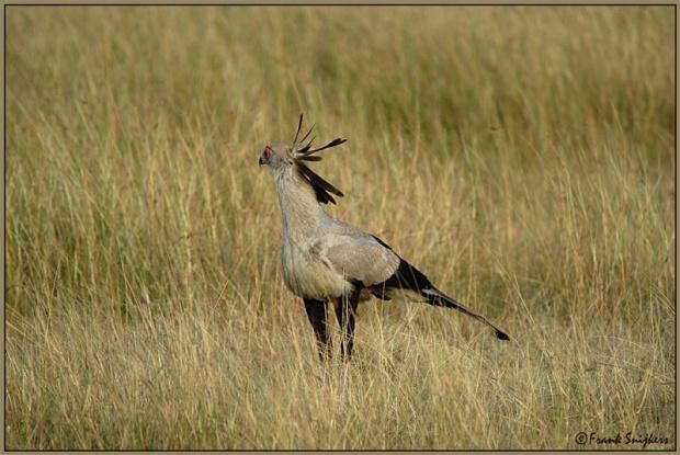 طائر الكاتب السكرتير secretarisvogel.jpg?