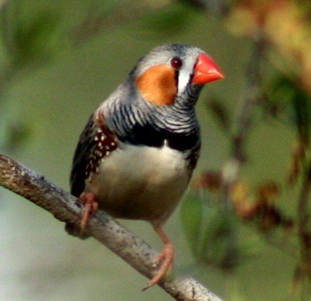 الفنكر زيبرا، طائر الفنكر الجميل من استراليا ، تقرير وصور taeniopygia_guttata_
