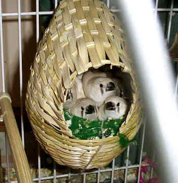 طيور الزيبرا zebra-finch-0003.jpg