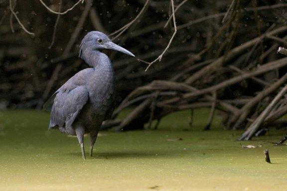 Aigrette ardoisée Egretta ardesiaca Black Heron