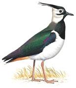 طائر الزقزاق البرونزي معلومات وصور