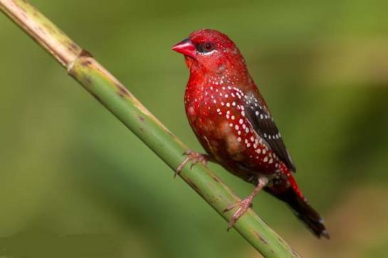 طائر الفراولة Strawberry finch 127128473-4npywj9a-bengalino9