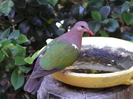 خضراء الجناحين ( حــمـــآمة الزمــرد ) 72jonesemerald-dove.