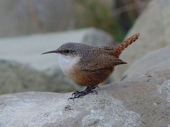 نمنمة الوادي canyon-wren-terry-gr