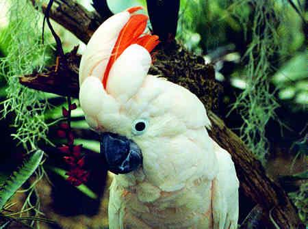 حيوانات طيور انواع الببغاوات الببغاء مولوكو الببغاء مولوكو الببغاء مولوكو طيور حيوانات الببغاء مولوكو حيوانات طيور انواع الببغاوات الببغاء مولوكو