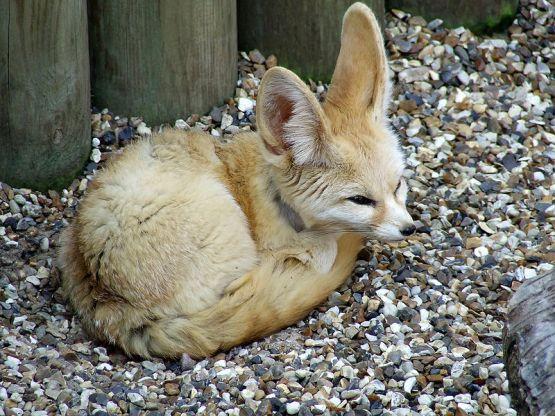 ثعلب الفنك 800px-fennec_fox__af
