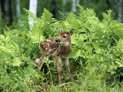 small_deer_in_the_grass