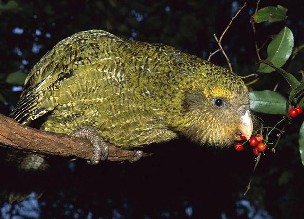 حيوانات طيور انواع الببغاوات ببغاء الكاكابو طيور رائعه ببغاء الكاكابو طيور حيوانات ببغاء الكاكابو حيوانات طيور انواع الببغاوات ببغاء الكاكابوـ ببغاء الكاكابو