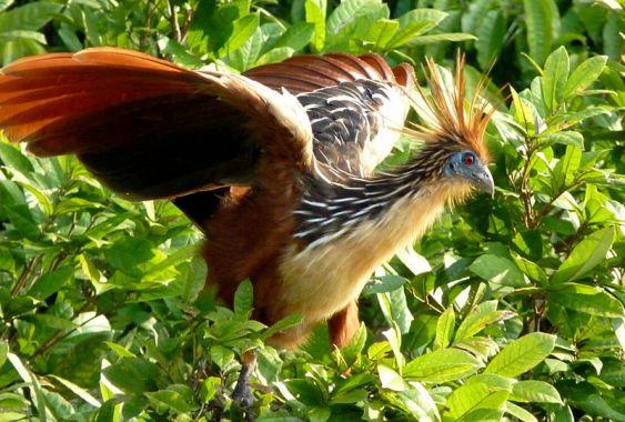 حديقة حيوانات المركز الدولى  - صفحة 4 800px-hoatzin_in_peru