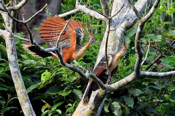 حديقة حيوانات المركز الدولى  - صفحة 4 800px-hoatzins_in_brazil1