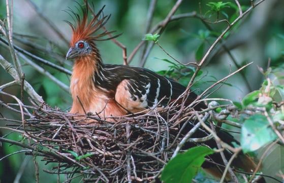 حديقة حيوانات المركز الدولى  - صفحة 4 Adventures-guyana-birding-hoatzin