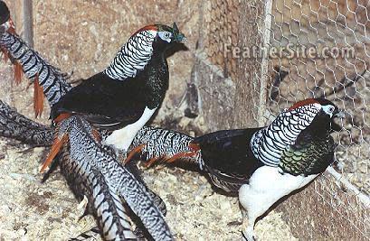 حديقة حيوانات المركز الدولى  - صفحة 4 Amherstmales