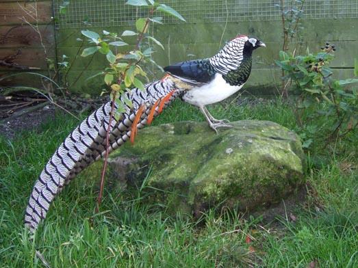 حديقة حيوانات المركز الدولى  - صفحة 4 F20110216164549-001-lady_amherst_pheasant_cock_on_rock_smaller