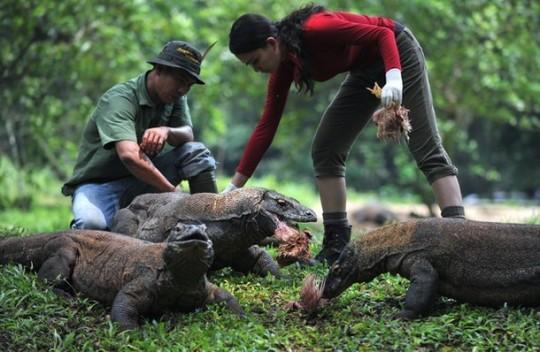 حديقة حيوانات المركز الدولى  - صفحة 4 Komodo-dragons-at-jakarta-ragunan-zoo-komodo-dragons-at-jakarta-ragunan-zoo-3