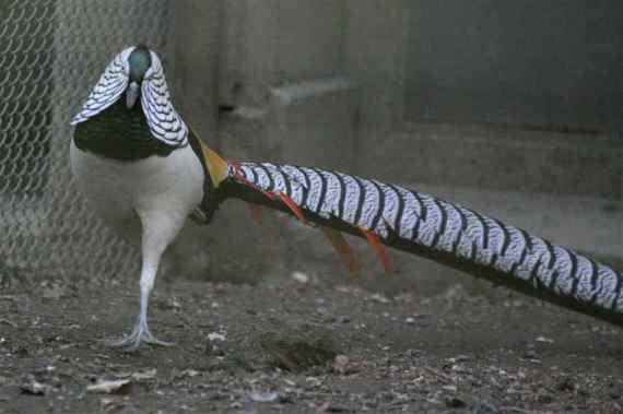 حديقة حيوانات المركز الدولى  - صفحة 4 Lady-amhersts-pheasant
