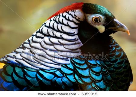 حديقة حيوانات المركز الدولى  - صفحة 4 Stock-photo-lady-amherst-pheasant-5359915