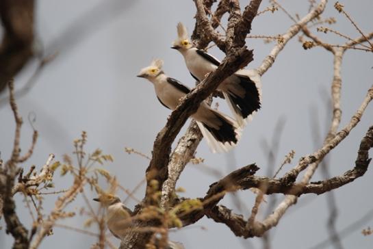 حديقة حيوانات المركز الدولى  - صفحة 4 White-crested-helmet-shrike-3