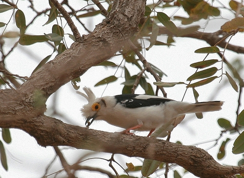 حديقة حيوانات المركز الدولى  - صفحة 4 White-crestedhelmetshrike
