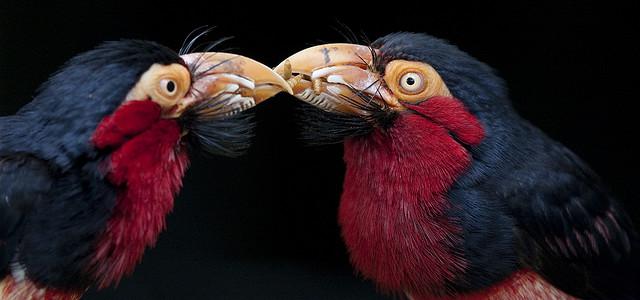 الطائر الملتحى _ طائر البربيت _ 106-bearded-barbet-l