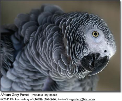 حديقة حيوانات المركز الدولى  - صفحة 4 Africangreyparrot2