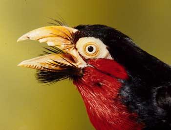 الطائر الملتحى _ طائر البربيت _ bearded_barbet1.jpg?