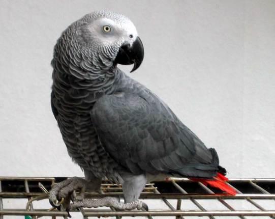 حديقة حيوانات المركز الدولى  - صفحة 4 Br-1032-c397-822-african-grey-timneh-wallpaper-2