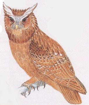 البوم المتوج crested-owlm.jpg?w=6