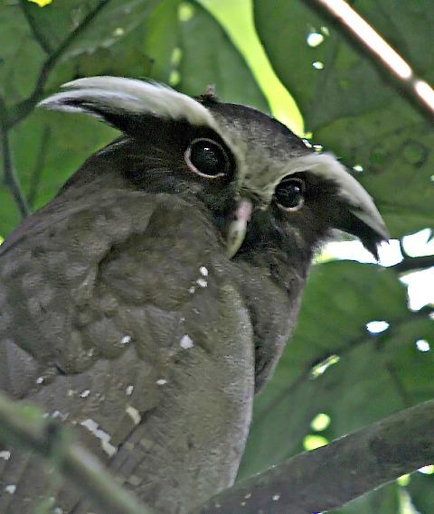 البوم المتوج crested_owl.jpg?w=64