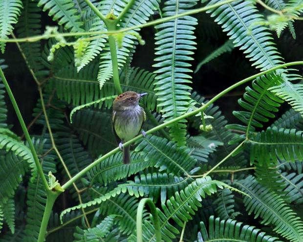 الأقزام الطاغية المتوجة scale-crested-pygmy-