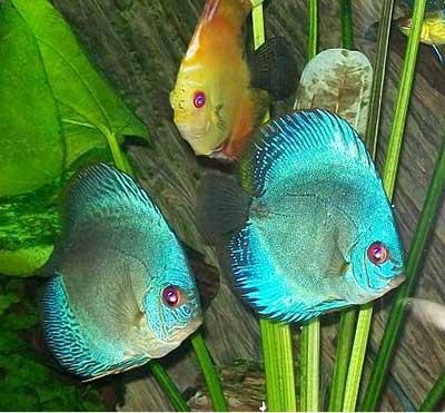 اسماك ديسكوس الزرقاء 072009-fom.jpg?w=640