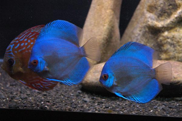 اسماك ديسكوس الزرقاء 2bluediscus1.jpg?w=6