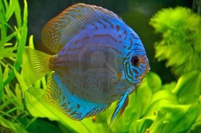 اسماك ديسكوس الزرقاء 402669-blue-discus-f