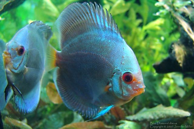 اسماك ديسكوس الزرقاء blue-diamond-discus.