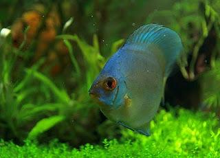 اسماك ديسكوس الزرقاء blue_discus_fish_typ