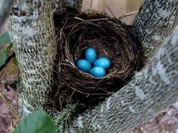 الروبن الهندي الازرق الطائر الصغير الروبن الهندي الازرق صور الروبن images3.jpg?w=640
