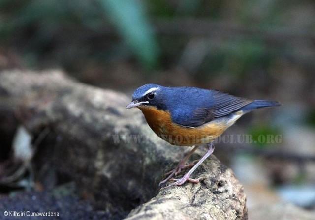 الروبن الهندي الازرق الطائر الصغير الروبن الهندي الازرق صور الروبن indian_blue_robin.jp
