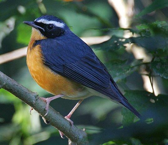 الروبن الهندي الازرق الطائر الصغير الروبن الهندي الازرق صور الروبن luscinia_brunnea.jpg