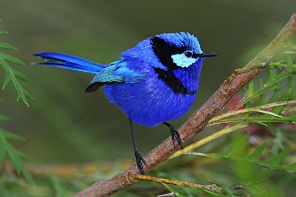 حيوانات طيور الرين الرائع النمنمة الزرقاء طيور رائعه الرين الجميل طيور حيوانات الرين الرائع حيوانات طيور الرين الرائع النمنمة الزرقاء