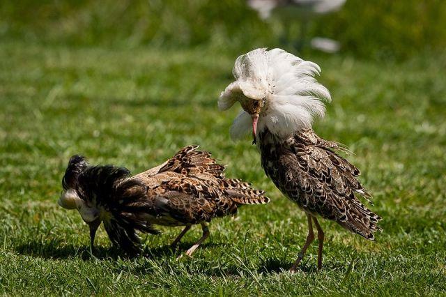 طيور الطيطوي