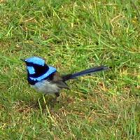 الروبن الهندي الازرق الطائر الصغير الروبن الهندي الازرق صور الروبن robin.jpg?w=640