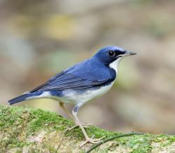 الروبن الهندي الازرق الطائر الصغير الروبن الهندي الازرق صور الروبن saiberian-blue-robin