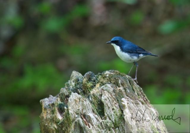 الروبن الهندي الازرق الطائر الصغير الروبن الهندي الازرق صور الروبن siberian-blue-robin-