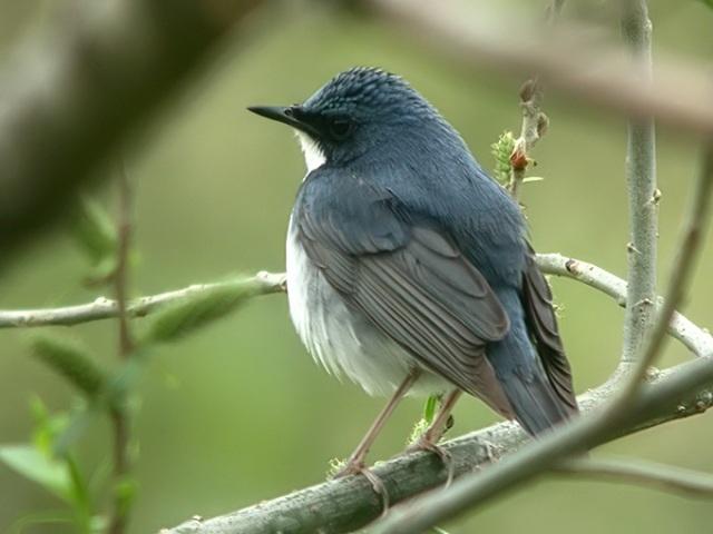 الروبن الهندي الازرق الطائر الصغير الروبن الهندي الازرق صور الروبن siberian-blue-robin_